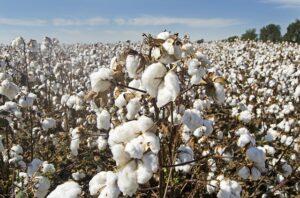 pole bawełny