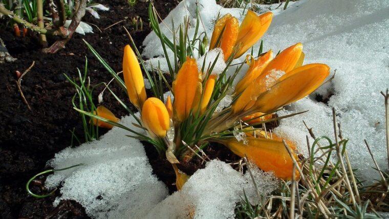 tulipany w śniegu