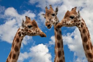 Trzy żyrafki życzą pysznejkawusi władzom Cieszyna